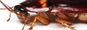 cockroaches pest control Perth