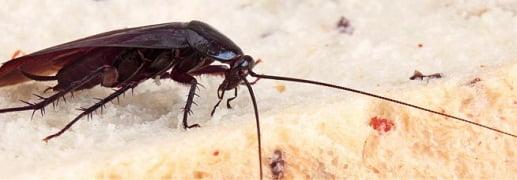 cockroaches control Perth