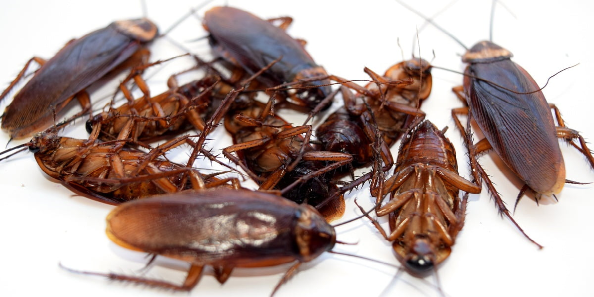 The Use of Cockroaches Treatment Perth Services to Stop The Troublesome Critters from Breeding InYour Zone